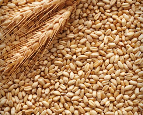 Good-quality-of-animal-feed-barley-grain